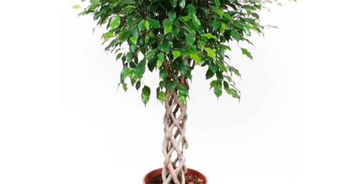Ficus Benjamina Koker