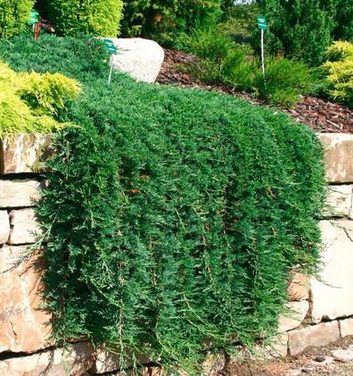 Juniperus hor Wiltonii_3.jpg