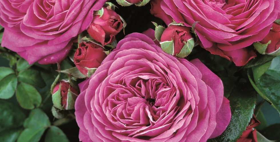 Rosa miniature Heidi Klum