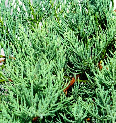 Juniperus virg Grey Owl_2.JPG