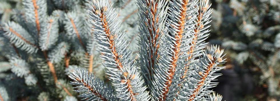 Picea pungens Iseli Fastigiate_2.jpg