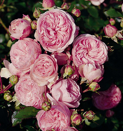Rosa Mariatheresia2.jpg