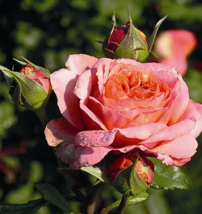 Rosa Mary Ann1.jpg