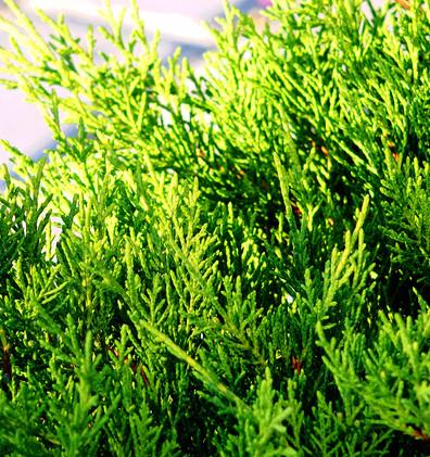 Juniperus media Gold Coast_2.JPG