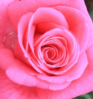 Rosa Lady Like1.jpg