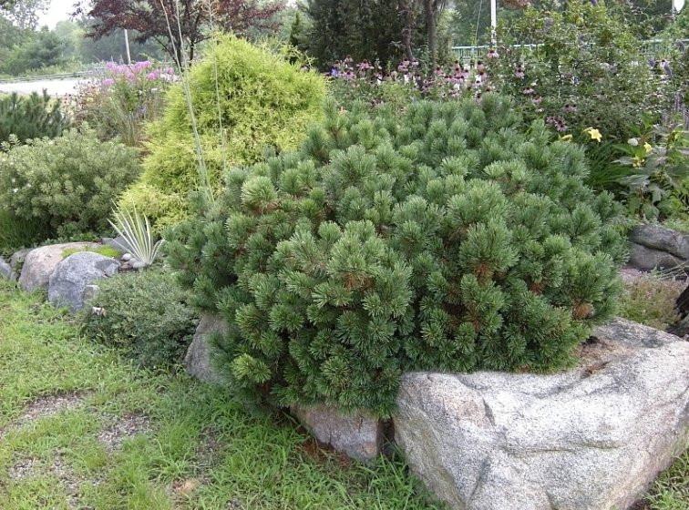 Pinus mugo Laurin_3.jpg