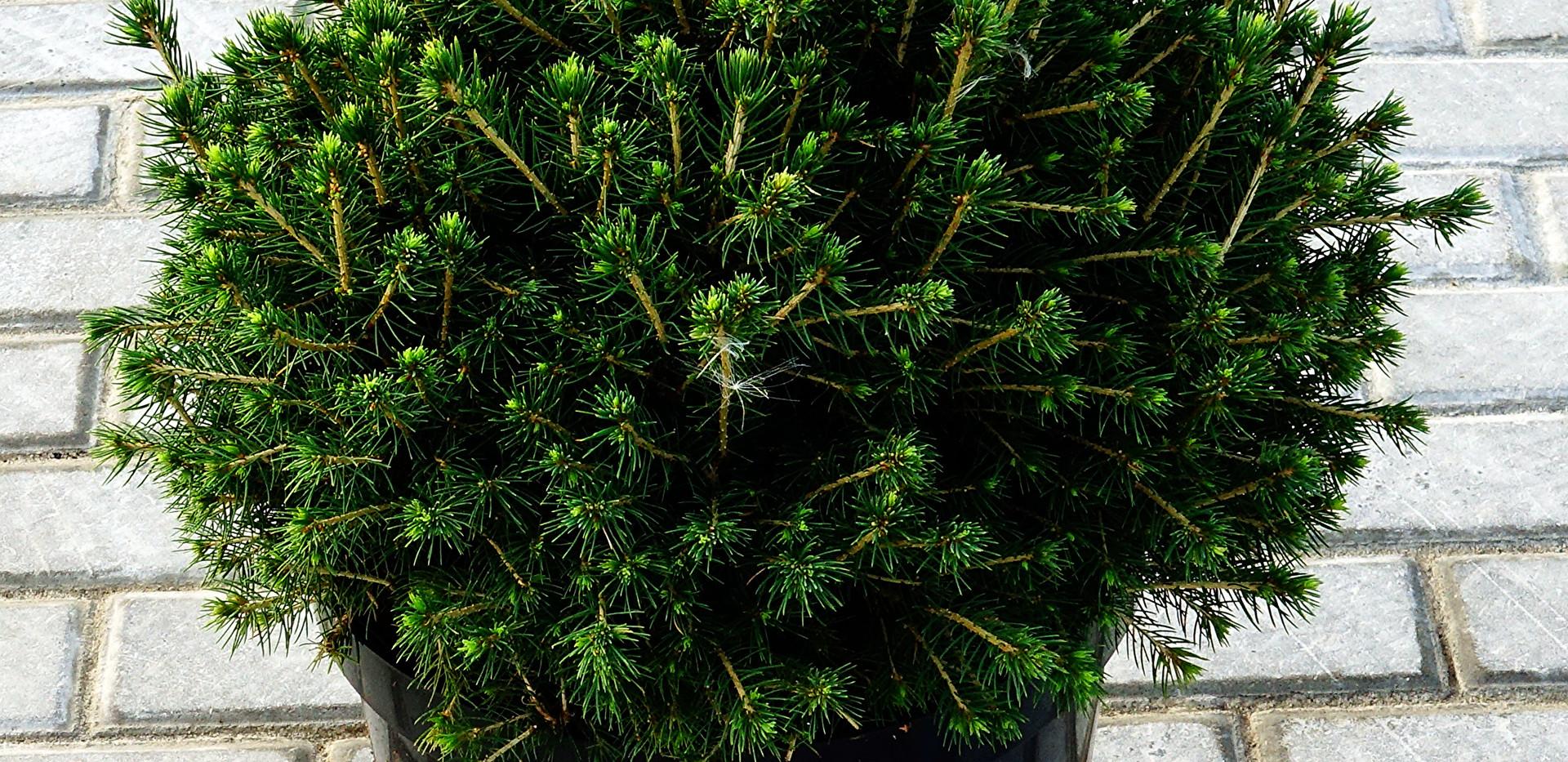Picea abies Tompa_1.JPG