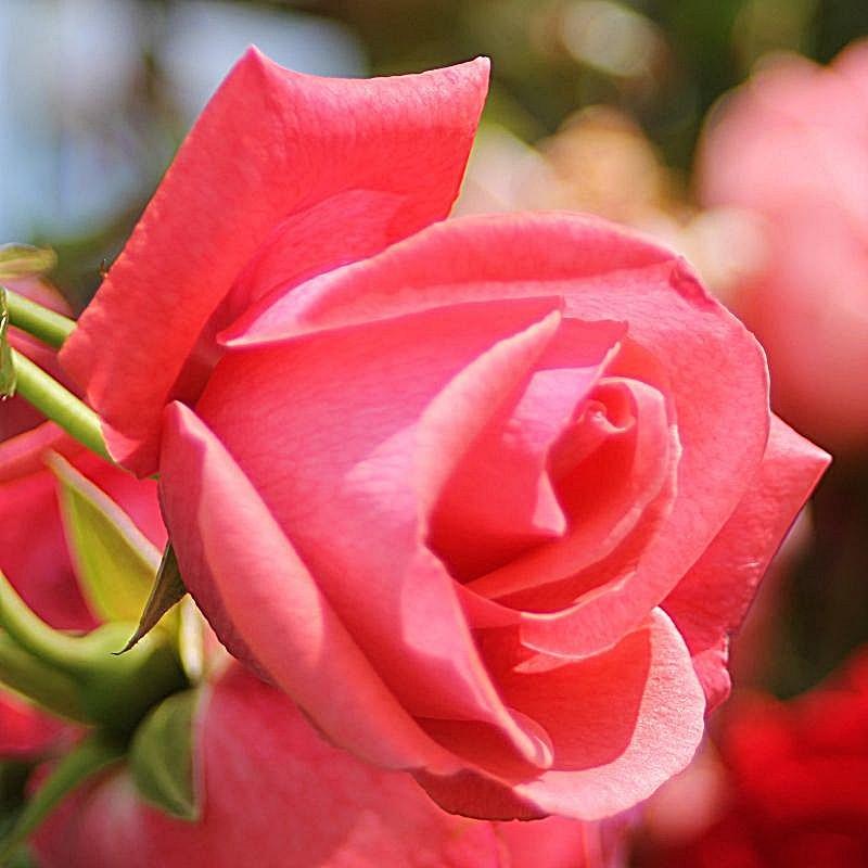 Rosa Lawinia2.jpg