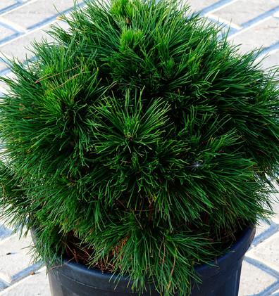 Pinus nigra Bambino_1.JPG