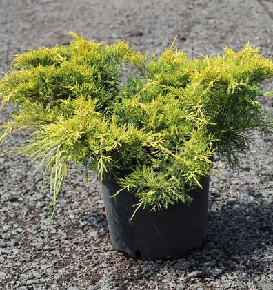 Juniperus media King of Spring_1.jpg
