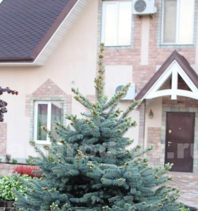 Picea pungens glauca_3.jpg