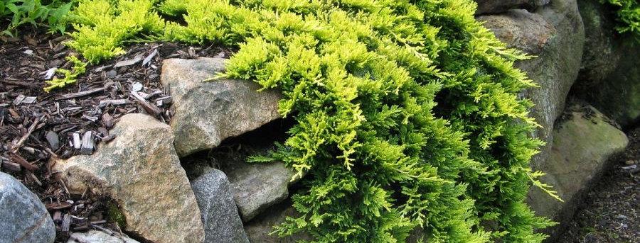 Можжевельник горизонтальный 'Golden Carpet'  (Juniperus horizontalis 'Golden Car
