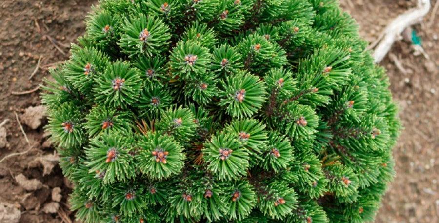 Сосна горная Шервуд Компакт  Pinus mugo Sherwood Compact
