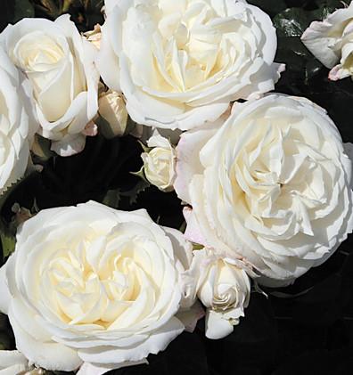 Rosa Alabaster3.jpg