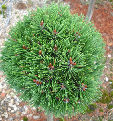 Pinus mugo Uncinata_1.JPG