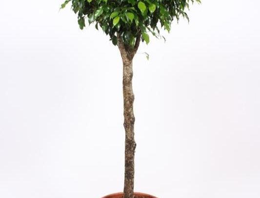 Ficus Danielle Op Stam