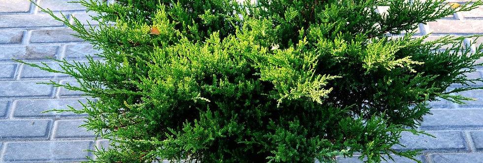 Можжевельник средний pfitzeriana Compacta. (Juniperus pfitzeriana Compacta)