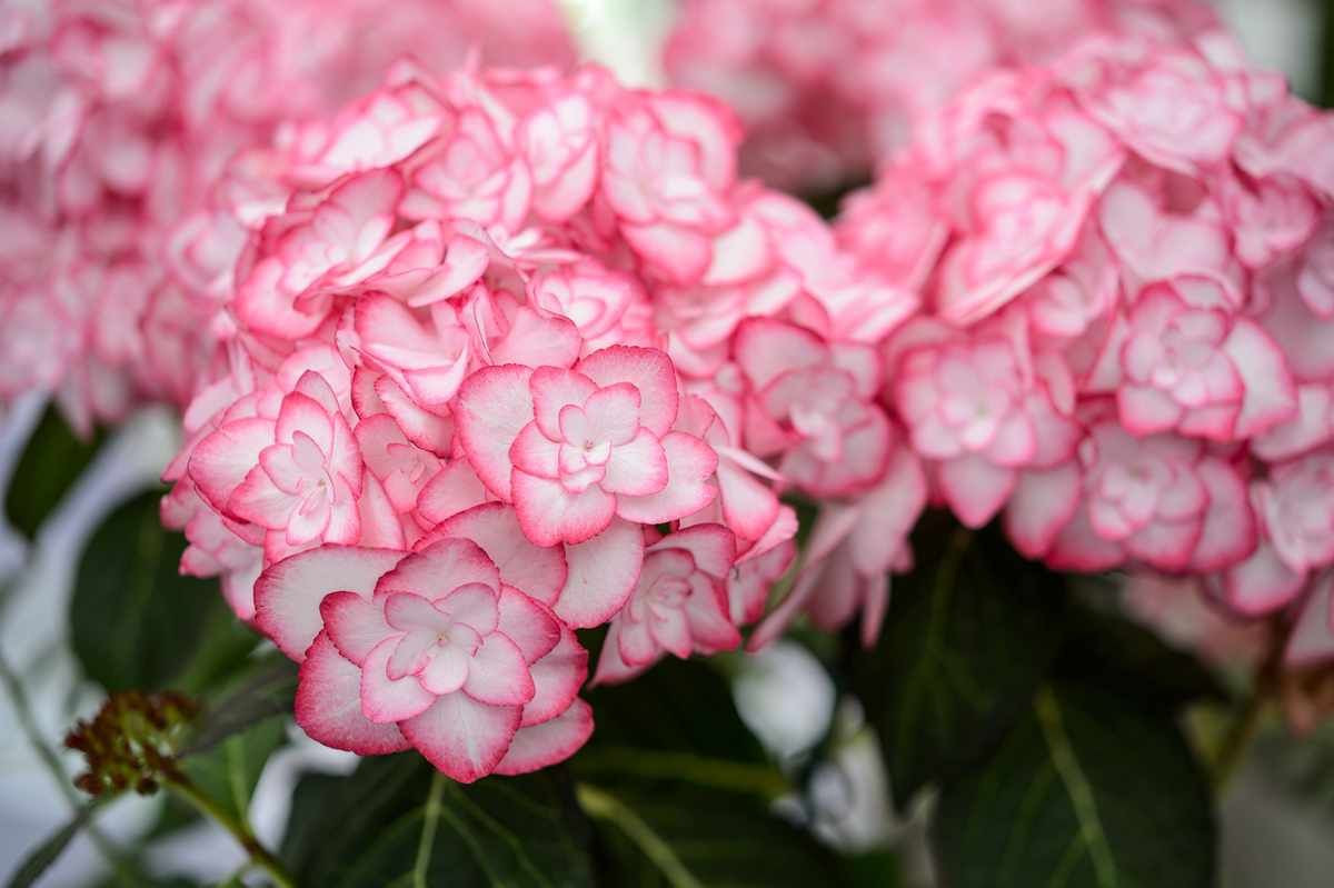 Hydrangea_m._'Miss_Saori'_YOU_&_ME®.jpg