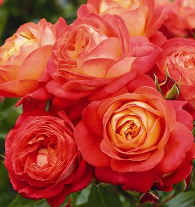Rosa Midsummer1.jpg