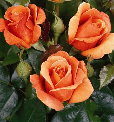 Rosa Cherry Brandy 85_2.jpg