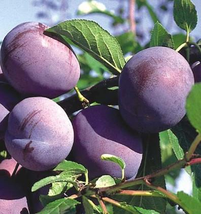 Prunus dom. Hauszwetsche Patio.jpg