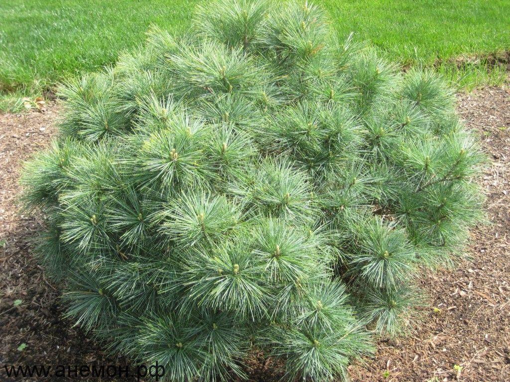 Pinus strobus Blue Shag_1.jpg