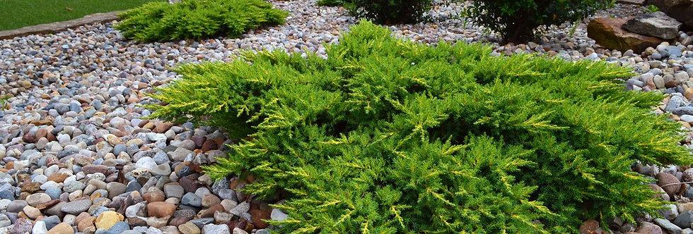 Можжевельник обыкновенный Грин Карпет  (Juniperus communis Green Carpet )