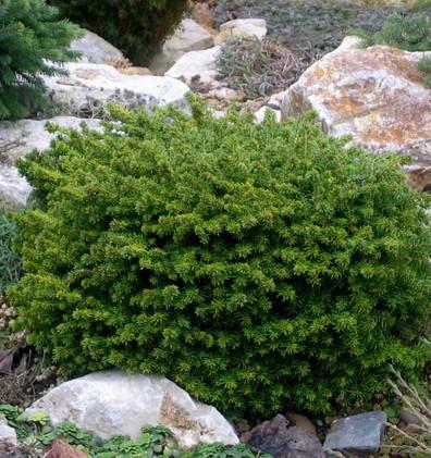 Picea abies Little Gem_3.jpg