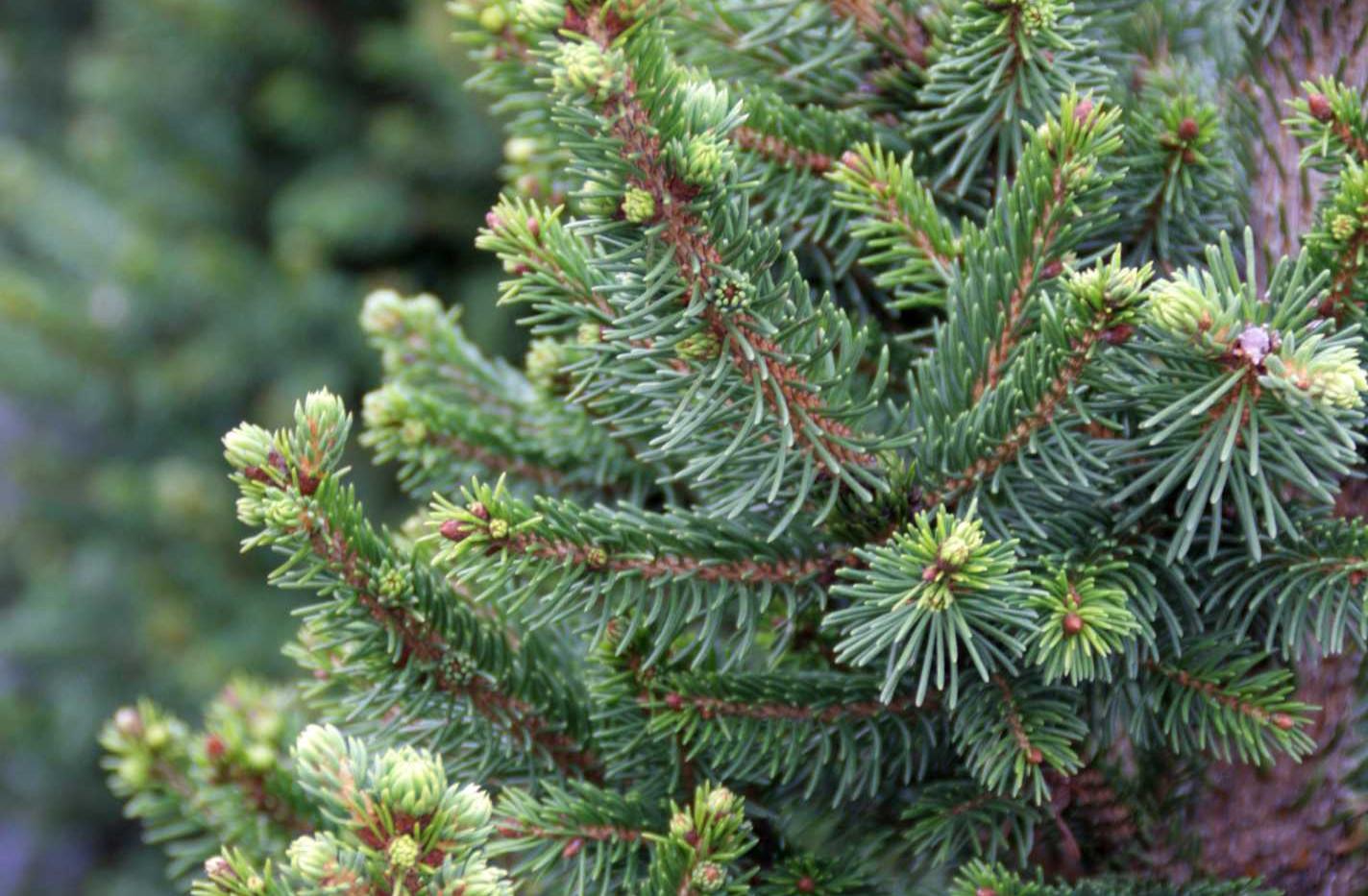 Picea abies Will's Zwerg_2.jpg