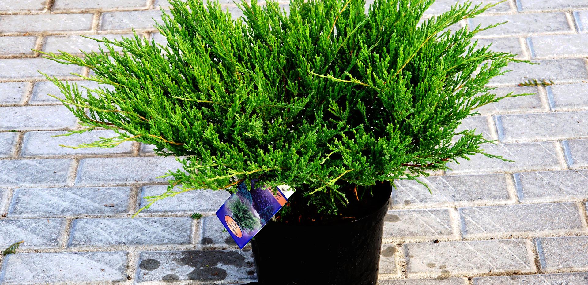 Juniperus hor Andorra Compact_1.JPG