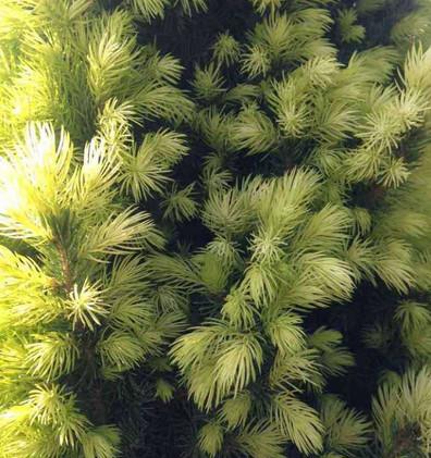 Picea glauca Daisy's White_2.jpg