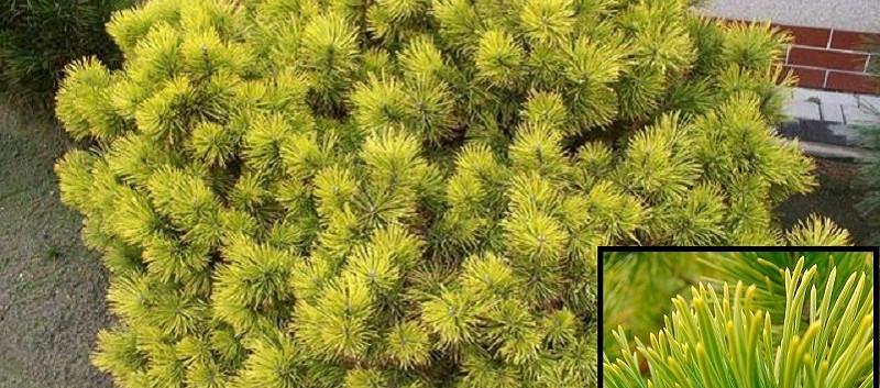 Pinus mugo Carsten's Wintergold_3.jpg