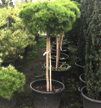 Pinus Sylvestris Watereri штамб1.jpg