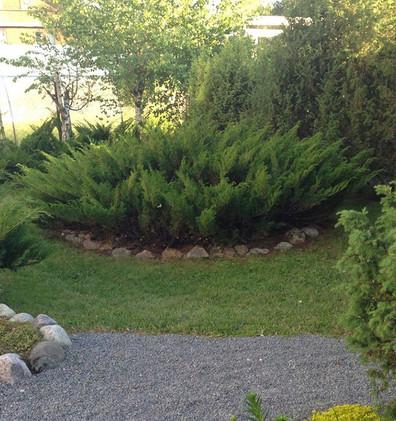 Juniperus sabina_3.jpg
