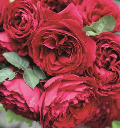 Rosa Gospel2.jpg