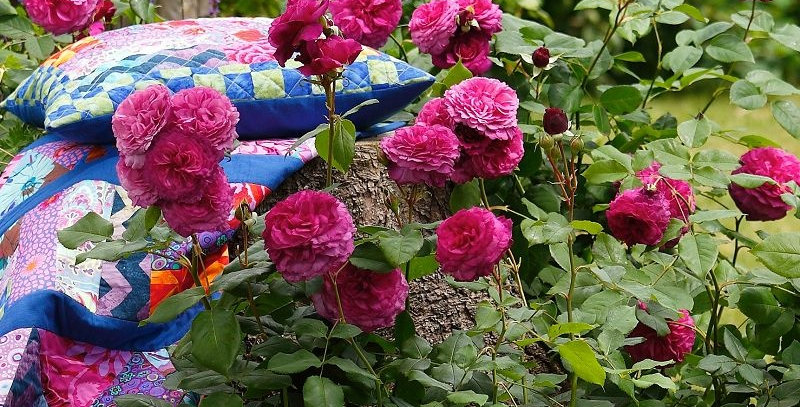 Rosa floribunda Kaffe Fassett Rose