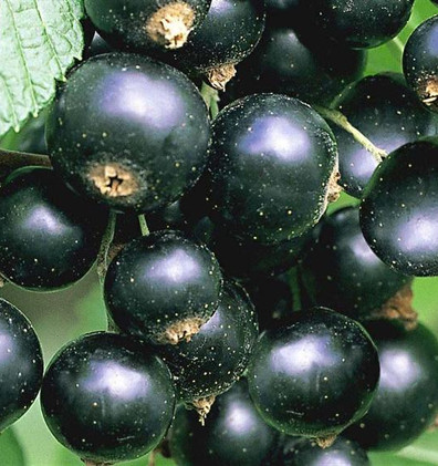 Ribes nigr. 'Titania'...jpg