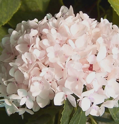 Hydrangea_m._Endless_Summer®_THE_BRIDE.j