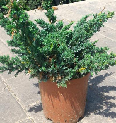 Juniperus squam Meyeri_1.jpg