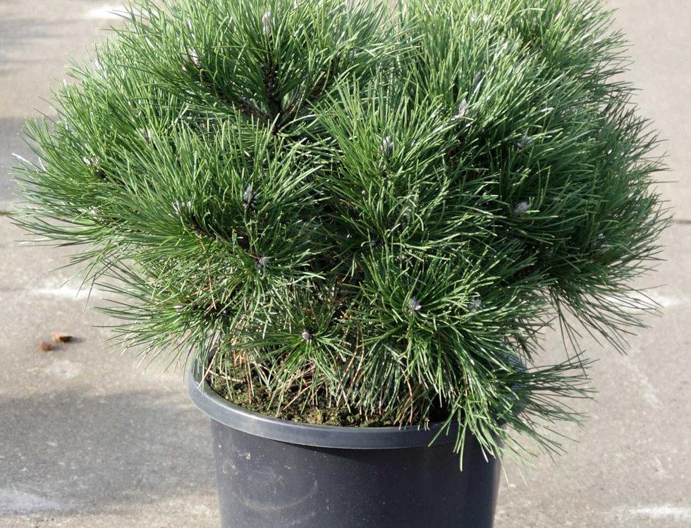 Сосна черная Нана  Pinus nigra Nana