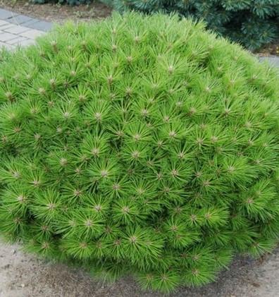 Pinus nigra Bambino_3.jpg