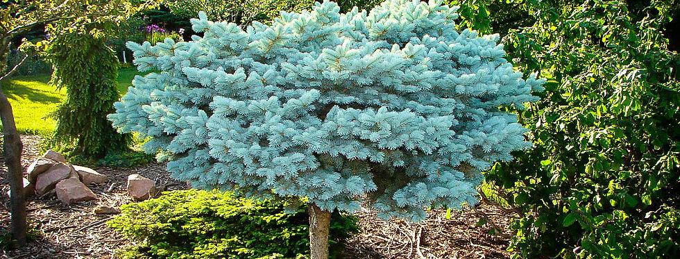 Ель колючая Глаука Глобоза на штамбе  (Picea pungens Glauсa Globosa )