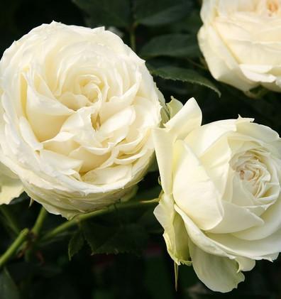 Rosa Lemon Piano_2.jpg