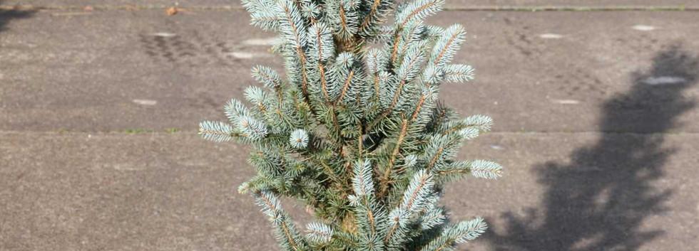 Picea pungens Iseli Fastigiate_1.jpg