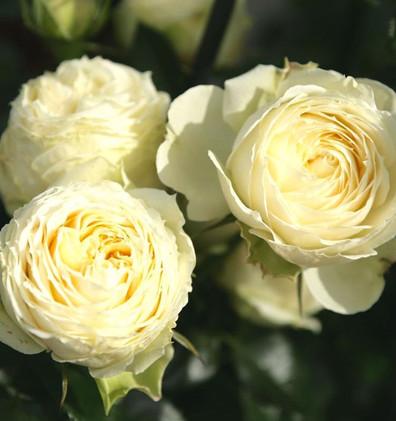 Rosa Lemon Rokoko1.jpg