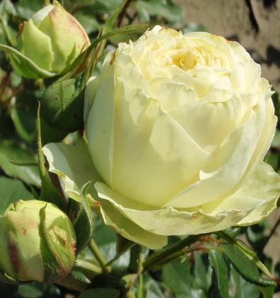 Rosa Lemon Piano_1.jpg