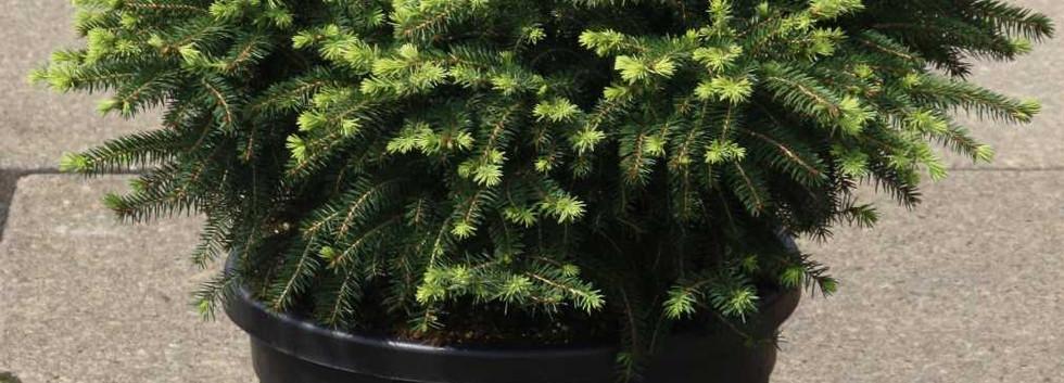 Picea abies Nidiformis_1.jpg