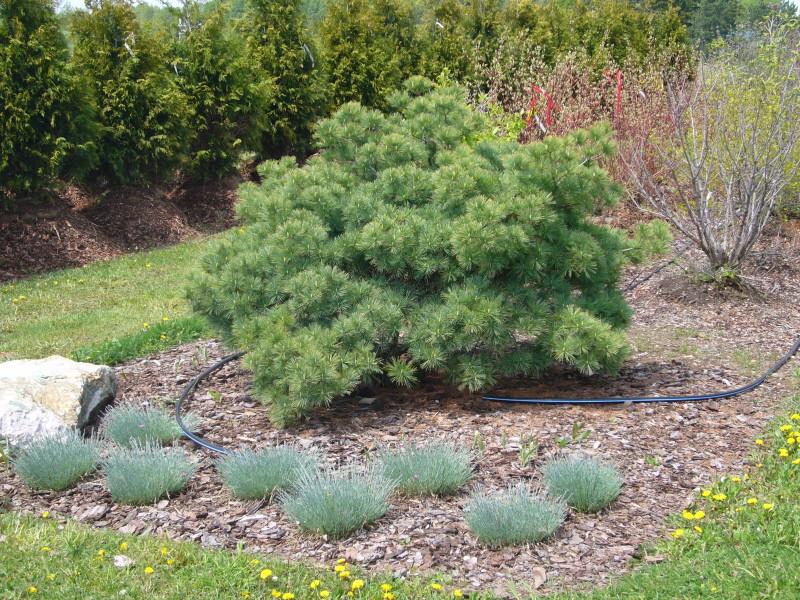 Pinus strobus Blue Shag_3.jpg
