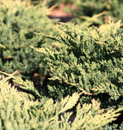 Juniperus hor Prince of Wales_2.jpg
