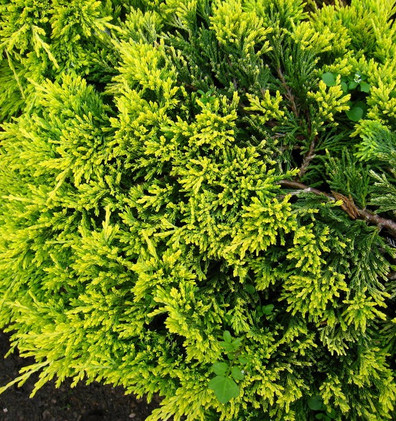 Juniperus hor Golden Carpet_2.jpg
